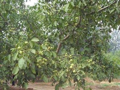 山核桃树,十门峡景区的特点,俗称摇钱树